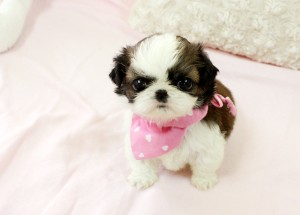 Xmas Male and Female Teacup Maltese puppies for Rehoming.