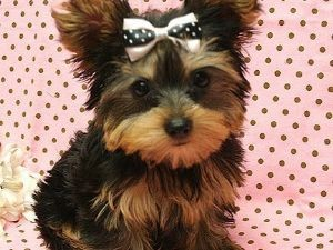 Tea Cup Yorkie Puppies