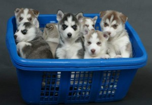 Beautiful Blue Siberian Huskies Puppies