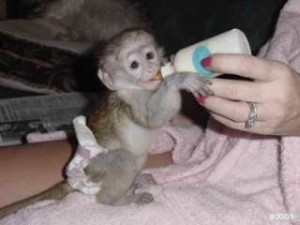 WE HAVE ADORABLE BABY CAPUCHIN MONKEY
