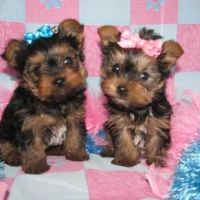 cute e x mas yorkie puppies for sale