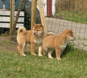 healthy Male and Female Akita Inu puppies For Adoption.