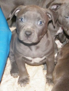 Dogs Willow Grove Pa Free Classified Ads
