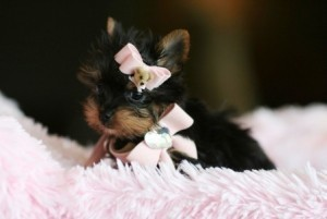 WOW!!! Adorable Teacup Yorkie Puppies For free Adoption