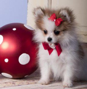 Xmas Pomeranian puppies are the perfect present for your loved ones!