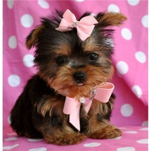 charming yorkie free for new year 2013