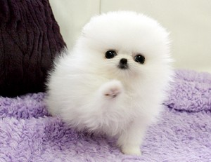 healthy white pomeranian puppies for you
