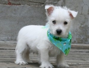 Cody is an family raised AKC male Westie pup. He comes with AKC papers