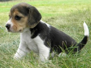 beagle jkc registered with papers