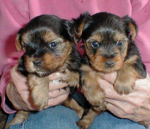 Marvelous Yorkie Puppies (587) 782-9600