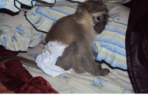 femal capuchin  monkey for adoption