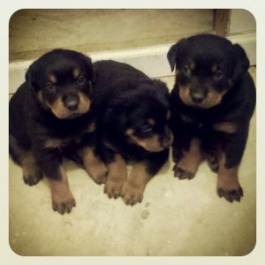 Purebred German Rottweiler Puppies 1 male, 4 females - Montgomery