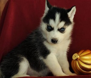 Top Quality Akc Blue Eyes Siberian Husky Puppies For New Year text 530-802-2557