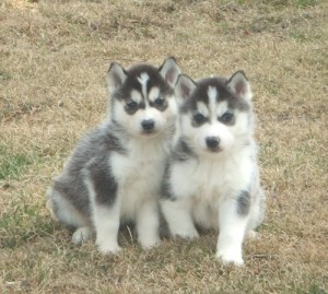Puppies for Sale - West Des Moines, IA | ASNClassifieds