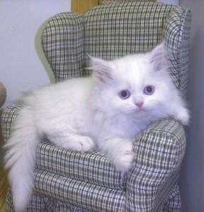 Persian cats indiana