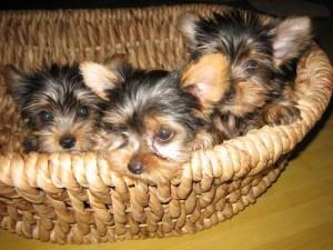 Price RE-Duced,Yorkshire Terrier (Yorkie),Pups - Aiken, SC