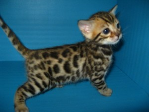 Teacup bengal kitten for sale