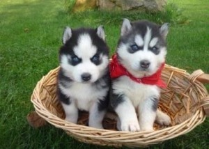 Blue Eyes Siberian Husky Puppies Ready For Free Adoption