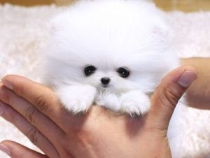 Cute Little Pomeranian Tea Cup Size Pure Bred Puppies For Sale 2