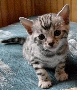 siberian kittens for sale nj