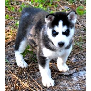 Husky Dogs For Adoption Kentucky