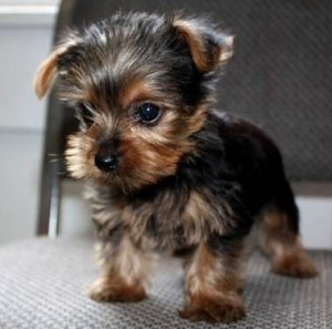 Teacup yorkie Puppies for adoption into good homes only (917