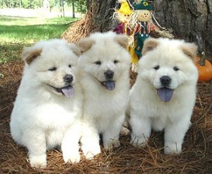 Well Trained Chow Chow Puppies For Adoption Junction City Ks