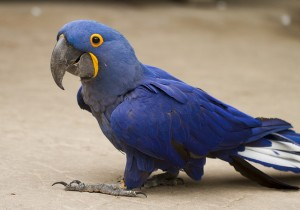 Adorable Talking Hyacinth Macaws Up Now for A New Family. TEXT (513) 900-1417
