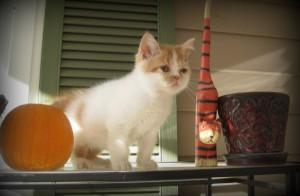 Outstanding Exotic Shorthair kittens For Sale - Austin, TX
