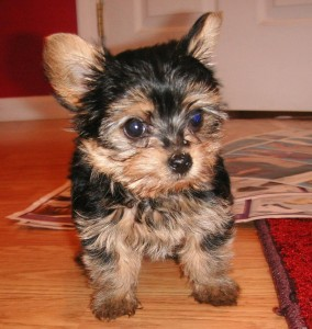 AKC Registered Yorkshire Terrier Puppy