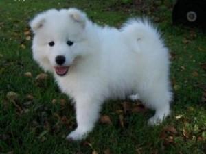 Samoyed Puppies for Free - Yakima, WA | ASNClassifieds