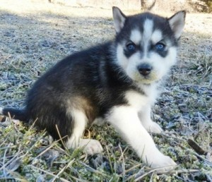 Husky Puppies For Sale In West Palm Beach