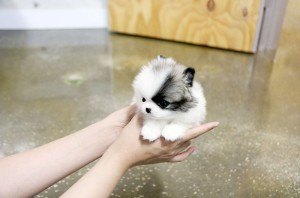 teacup pomeranian grown up