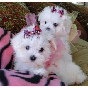 Image Result For Maltese Puppies For Adoption In Colorado