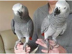 African Grey Parrots - Buffalo, NY | ASNClassifieds