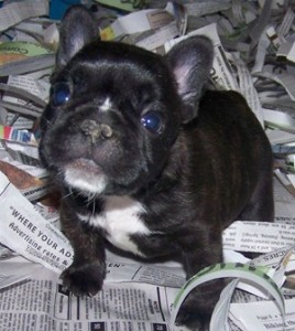 French Bulldog puppies for adoption!