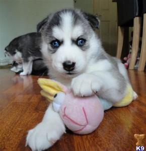 Siberian Husky Puppies For Adoption Yuma Az Asnclassifieds