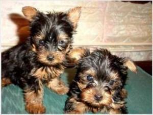 Tiny Tea-cup Yorkshire Terriers