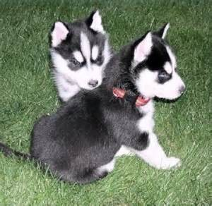 Beautiful Husky Puppies