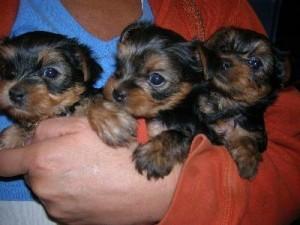 Teacup Yorkie Puppies Bakersfield Ca Asnclassifieds