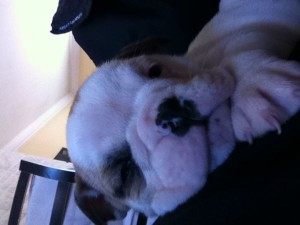 Adorable Fawn English Bulldog Puppies Available