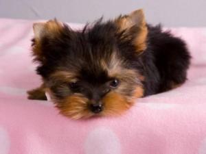 Tiny Teacup Yorkie Puppies For Adoption - Athens, GA   ASNClassifieds
