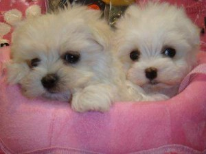 Tiny Male Maltese Pup
