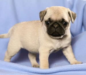 Classic Pug Puppies For Sale Starkville Ms Asnclassifieds