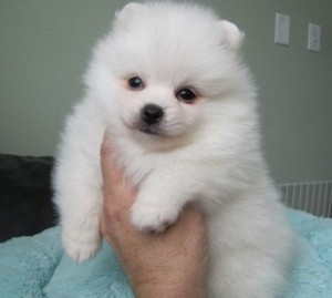 Charming Pomeranian Puppies for Sale - Columbia, SC