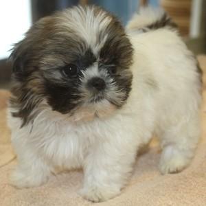 Puppies For Sale In Albuquerque >> Dogs - Albuquerque, NM - Free Classified Ads