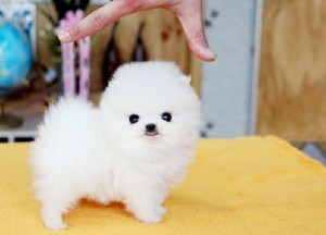 Sweetheart Pomemarian Puppies For Sale Duluth Mn Asnclassifieds