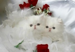 Cashmere White Teacup Persian Kitten For Sale - Amsterdam, NY ...