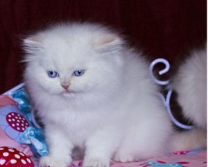 Persian cat for sale harrisburg pa