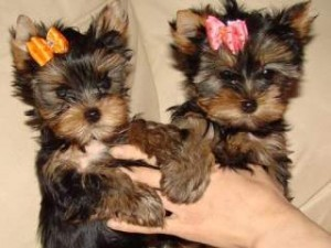 Tiny Male Yorkshire Terrier Puppy